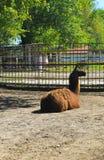 Lama in recinto chiuso Fotografia Stock Libera da Diritti