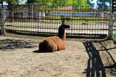 Lama in recinto chiuso Immagine Stock