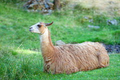 A lama is resting on a green field Stock Image