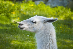 Lama resting in the shade Royalty Free Stock Images