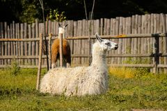Lama rests at the Zoo Royalty Free Stock Photography