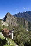 Lama and ruins of the lost Inca city Machu Picchu in Peru - South America Stock Photo