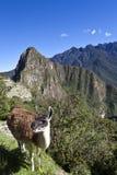 Lama and ruins of the lost Inca city Machu Picchu in Peru - South America Stock Photo