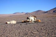 Lama's stock afbeeldingen