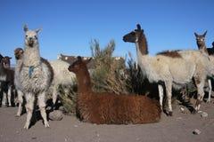 Lama's Royalty-vrije Stock Foto's