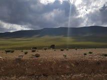 Lama's royalty-vrije stock afbeelding