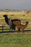 Lama's stock foto's