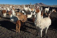 Lama's Stock Foto