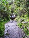 Lama's als ezels door plaatselijke bewoners op Inca Trail worden gebruikt dat 3d zeer mooie driedimensionele illustratie, cijfer  Stock Foto
