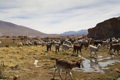 Lama's bij de hooglanden Stock Fotografie
