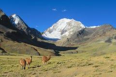 Lama's in de Andes royalty-vrije stock afbeelding
