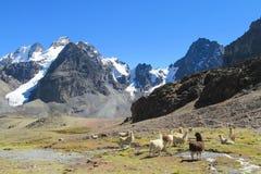 Lama's in de Andes stock afbeelding