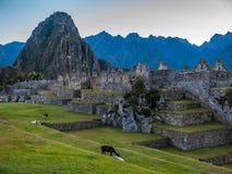 Lama's die in Machu Picchu bij dageraad weiden Stock Foto's