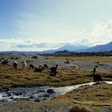 Lama's en alpacas Stock Fotografie