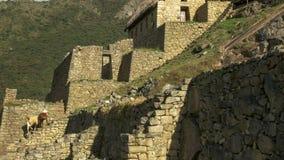 Lama's en de ruïnes bij machupicchu royalty-vrije stock afbeelding