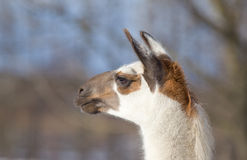 Lama's head Royalty Free Stock Photos
