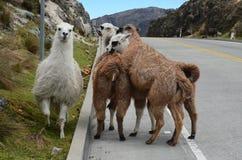 Lama's in het Nationale Park Cajas, de Post van Tres Cruces, Ecuador Royalty-vrije Stock Afbeelding