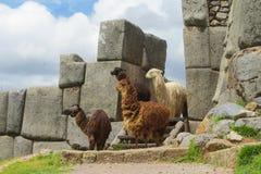 Lama's in incaruïnes stock fotografie