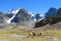 Lama's op grasweide in de Andes stock foto's