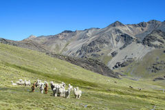 Lama's op grasweide in de Andes royalty-vrije stock afbeelding