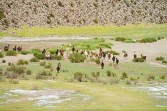Lama's op groene bergweide royalty-vrije stock afbeelding