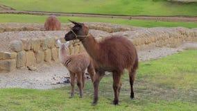 Lama's op het gras