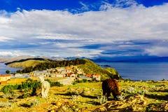 Lama's op isla del Sol door Meer Titicaca - Bolivië Royalty-vrije Stock Afbeelding