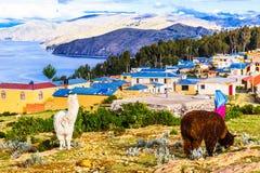 Lama's op isla del Sol door Meer Titicaca - Bolivië Stock Afbeeldingen