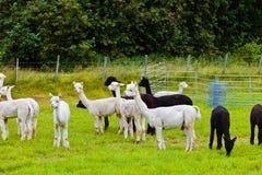 Lama's op landbouwbedrijf in Noorwegen Stock Foto