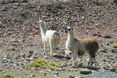 Lama's op stenen royalty-vrije stock afbeeldingen
