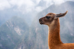 Lama's portrait at mountains background in Peru.  Royalty Free Stock Photo