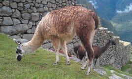 Lama's van Machu Picchu royalty-vrije stock foto