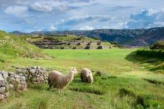 Lama a Sacsayhuaman in Cuzco, Perù Immagine Stock Libera da Diritti