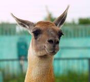 Lama in the Safari Park Taigan Royalty Free Stock Photography