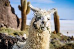 Lama in Salar de Uyuni, Bolivia Stock Photo