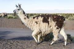 Lama in saline Grandes in Jujuy, Argentina. fotografia stock