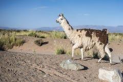 Lama in saline Grandes in Jujuy, Argentina. fotografie stock libere da diritti