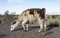 Lama in saline Grandes in Jujuy, Argentina. fotografie stock