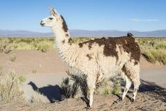 Lama in saline Grandes in Jujuy, Argentina. immagini stock