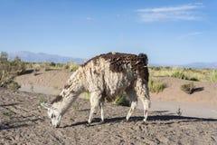 Lama in saline Grandes in Jujuy, Argentina Fotografia Stock