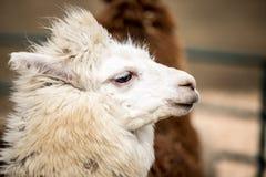 Lama - Schneeschönheit Stockbild