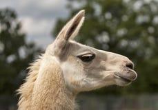 Lama in Schottland Stockfoto