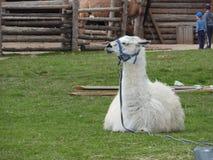 Lama se reposant sur un pr? vert et mangeant un jour ensoleill? clair photos stock