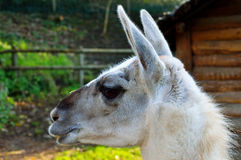 Lama side profile Royalty Free Stock Photo