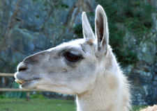 Lama side profile Royalty Free Stock Images