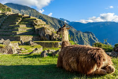 Lama sitting on grass and looking at terrace of Machu Picchu. Lama sitting on the grass and looking at terrace of Machu Picchu Royalty Free Stock Photography