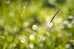 Lama sola di erba o della spighetta Fotografia Stock Libera da Diritti