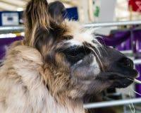 Lama som äter eller tuggar gräs Arkivfoto