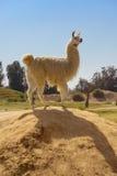 Lama Standing bonito na rocha Imagens de Stock Royalty Free