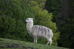 Lama. Standing on the horizon at Altenfelden Tier park, austria royalty free stock images